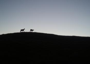Brzy ranní setkání s kamzíky